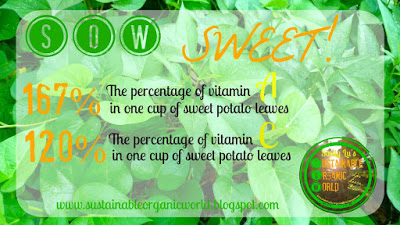 sweet-potato-leaves