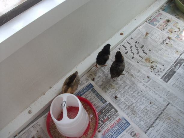9 baby chicks on newspaper