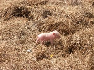 baby pig 2