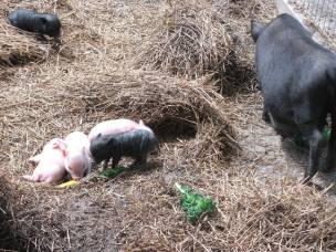 baby pigs with momma