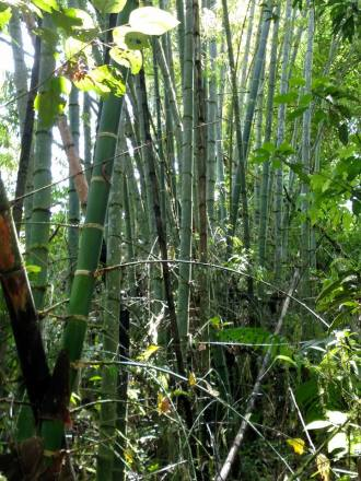 36 bamboo
