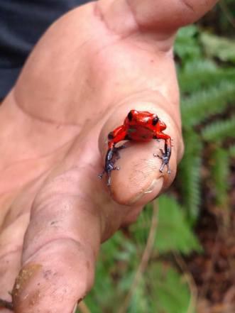 68 poison dart frog